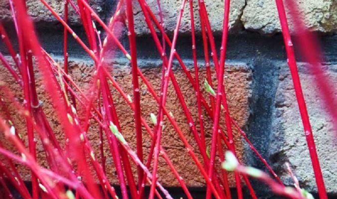 Iran flower market red willow